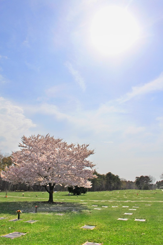 Cherry Blossom with Sun at Pinelawn Memorial Park And Arboretum