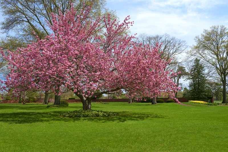 Cherry Blossom at Pinelawn Memorial Park And Arboretum Front Office