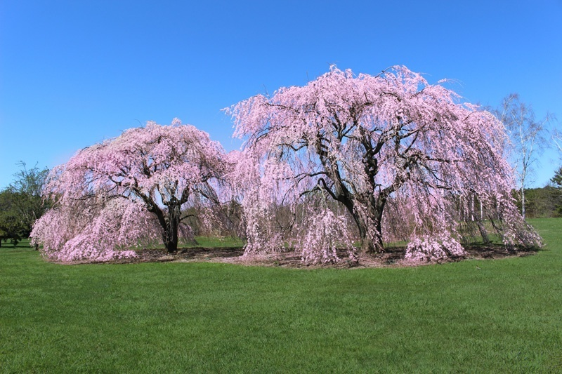 Cherry Blossoms in Oak Division at Pinelawn Memorial Park And Arboretum