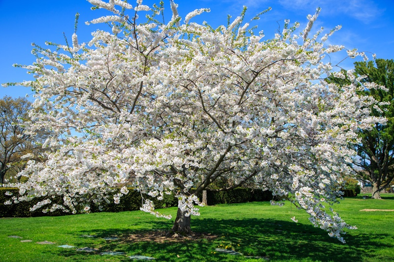 Pinelawn Memorial Park And Arboretum White Cherry Blossom