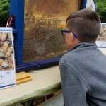 Young boy looking at honey bees in an enclosure