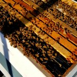 honey bees in hive