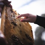 pointing to honey bees on honey comb