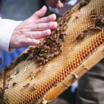hand hovering above honey comb with bees
