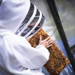 bee keeper touching bees on honey comb